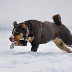 Passt Der Appenzeller Sennenhund Zu Mir Alle Sennenhunde