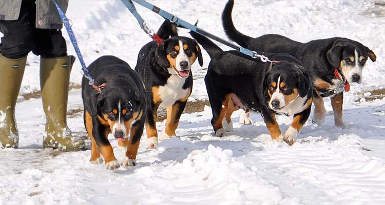 Passt Der Entlebucher Sennenhund Zu Mir Alle Sennenhunde