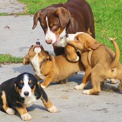 Ist Ein Mischling Gesunder Alle Sennenhunde
