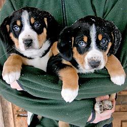 Alle Sennenhunde Hunderassen Ubersicht